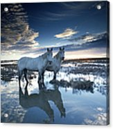 Wild Horses Equus Caballus, France Acrylic Print