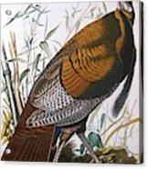 Wild Turkey  Male  Acrylic Print