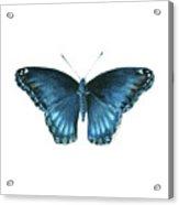 113 Brenton Blue Butterfly Acrylic Print