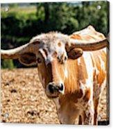 Longhorn Bull In The Paddock Acrylic Print