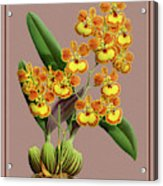 Orchid Vintage Print On Tinted Paperboard Acrylic Print