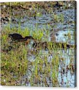 Green Heron Looking For Food Acrylic Print