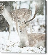 Beautiful Image Of Fallow Deer In Snow Winter Landscape In Heavy Acrylic Print