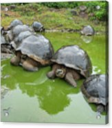 Creep Of Indefatigable Island Tortoises Acrylic Print