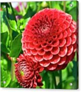 Dahlia Flowers Acrylic Print