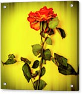 Dying Flower Against A Yellow Background Acrylic Print