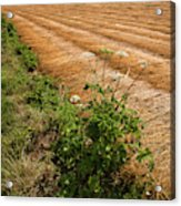 Field With Brown Cut Flax In Rows Drying In The Sun Acrylic Print