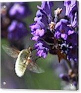 Fly Bee Acrylic Print