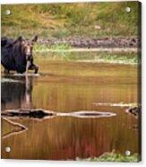 Moose At Green Pond Acrylic Print