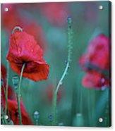 Red Corn Poppy Flowers Acrylic Print