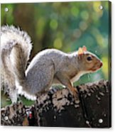 Squirrel Friend Acrylic Print