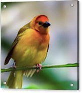 Yellow Bird Acrylic Print