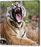 An Adult Tiger In Bandhavgarh National Acrylic Print