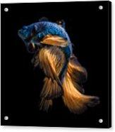 Colourful Betta Fish,siamese Fighting Acrylic Print