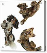 3 Dogs Looking Down Acrylic Print