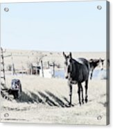 3 Mules Acrylic Print