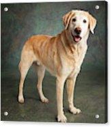 Portrait Of A Labrador Mixed Dog Acrylic Print
