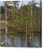 Tennesse Cypress In Wetland  Acrylic Print