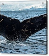 Whale In The Ocean, Southern Ocean Acrylic Print