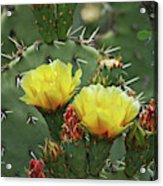 Yellow Prickly Pear Flowers Acrylic Print