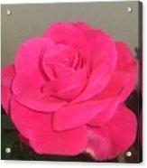 Pink Rose Acrylic Print