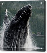 Breaching Humpback Whale, Alaska Acrylic Print
