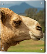 Camel Out Amongst Nature Acrylic Print
