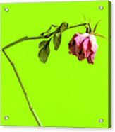 Dying Flower Against A Green Background Acrylic Print