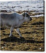 Svalbard Reindeer Acrylic Print