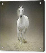 White Horse Galloping Acrylic Print
