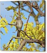 Willow Flycatcher Acrylic Print