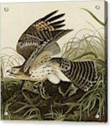 Winter Hawk  Acrylic Print