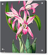 Orchid Old Print Acrylic Print