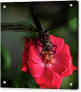 Dragonfly On A Flower Of A Red Rose. Macro Photo Acrylic Print