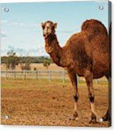 Large Beautiful Camel Acrylic Print