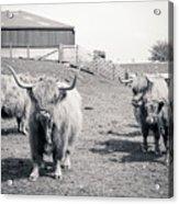 Highland Cattle  Acrylic Print