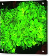 Natural Occurring Fluorescence Acrylic Print