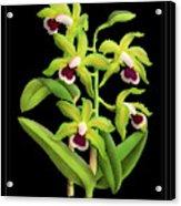 Vintage Orchid Print On Black Paperboard Acrylic Print
