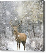 Beautiful Red Deer Stag In Snow Covered Festive Season Winter Fo Acrylic Print