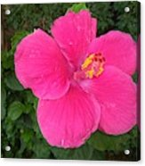 Bright Pink Hibiscus Acrylic Print