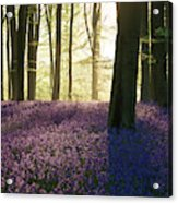 Stunning Bluebell Forest Landscape Image In Soft Sunlight In Spr Acrylic Print