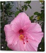 Pink Hibiscus Acrylic Print