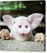 A Baby Pig In Its Pen Acrylic Print