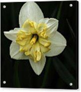 A Beautiful Narcissus Acrylic Print