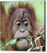 A Close Portrait Of A Young Orangutan Eating Leaves Acrylic Print