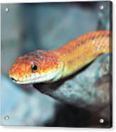 A Close Up Of A Ground Snake Acrylic Print