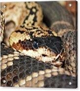 A Close Up Of A Mojave Rattlesnake Acrylic Print