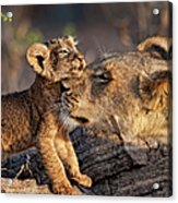 A Female Lion Panthera Leo And Her Cub Acrylic Print