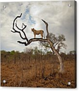 A Female Lion Standing On Bare Branch Acrylic Print