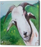 A Goat To Love Acrylic Print